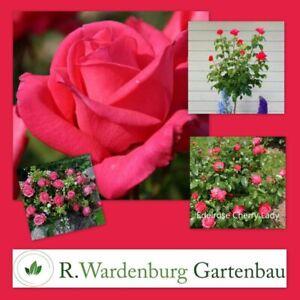 Edelrose Cherry Lady® kirschrosa  - 5L Topf