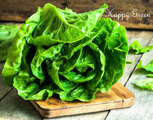 Vegetable-BUTTER-LETTUCE-MAY-QUEEN-2000-seeds-Early-variety