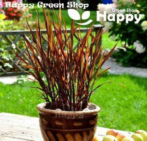 Ornamental rice - 50 seeds - Black Madras - showy purple leaves - Oryza sativa