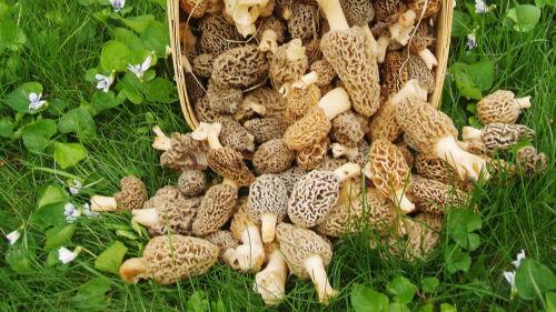 Large Kit Morel Mushroom Spores in Sawdust Seed Spore kit 125 Gallon kit 25 bags