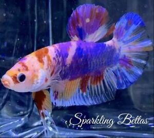 """Live Betta Fish Male Import Giant """"Colorful"""" Avatar HMPK Betta #652"""