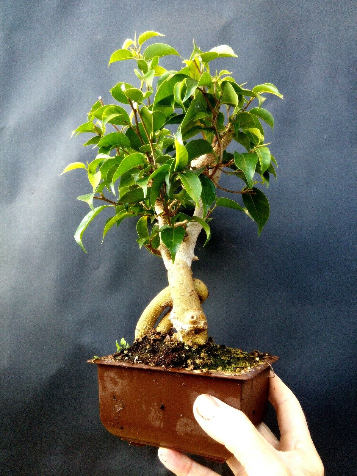 Bonsai Ficus wiandi vivo-Natural Bonsai para profesionales  1