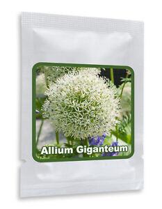 RIESEN-LAUCH-WEISS-Allium-giganteum-30-Samen-Pack-Zierlauch-Winterhart