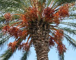 10pcs Medjool Palm Tree Seeds Rare Edible Dates Fresh Type Bonsai In Home Garden Ebay