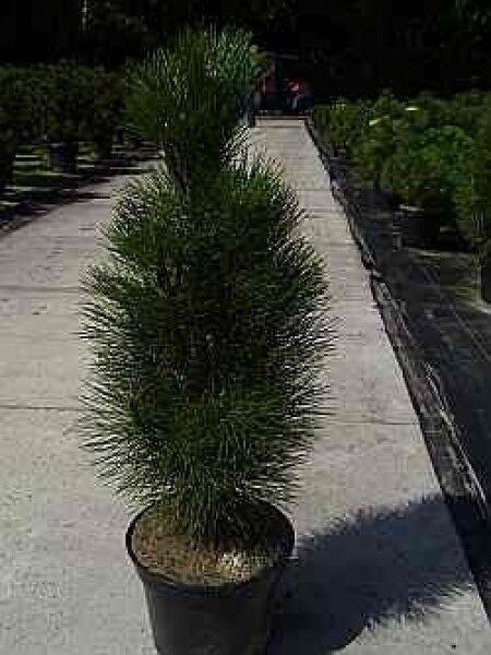 Pinus nigra Grün Tower - Säulen-Schwarzkiefer -