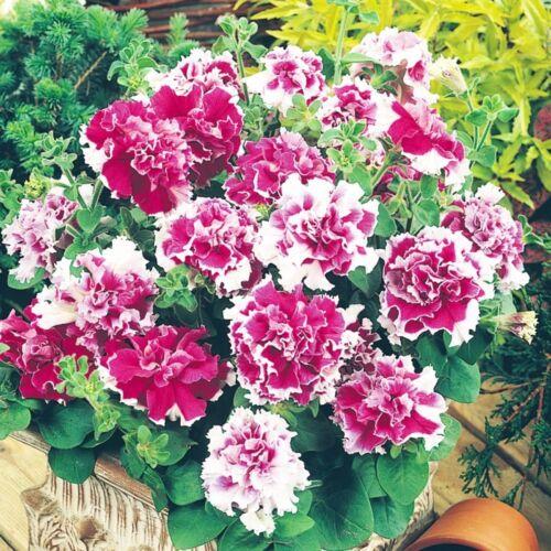Colorato Arruffato fioriture doppio 10 SEMI DI PETUNIA doppia piroetta ROSE BELLA BI
