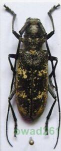 Monochamus-sartor-urussovii-Fischer-1806-female-Poland