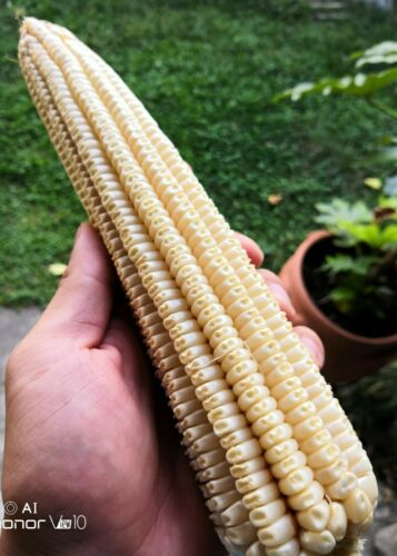 White nighting maïs ~ 30 top qualité Graines-extra Rare Blanc-Maïs-Non-OGM