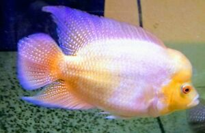 8-Golden-Flame-Red-Dragon-Flowerhorn-FRY-1-5-034-2-034-Live-Freshwater-Aquarium-Fish