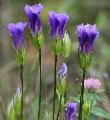FRINGED GENTIAN * Gentiana crinita * SPECTACULAR ROYAL BLUE BLOOMS * SEEDS
