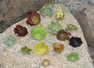 Succulent-AEONIUM-cuttings-15-different-varieties-some-rare-drought-tolerant