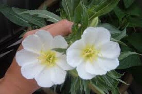 Oenothera pallida /'Innocence  White Evening Primrose Flower  HP 400 seeds