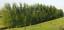 2ft-3ft-4ft-Tall-Hybrid-Willow-Tree-Fast-Growing-Shade-Screen-Windbreak-Austree thumbnail 5