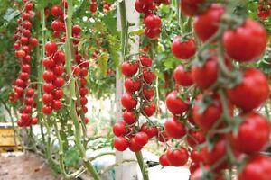 150-Semi-Pomodoro-Rosso-Ciliegino-The-Italian-Tomato-Italy-Seeds-Korn-graines