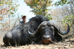 Hunt for monster Cape Buffalo in Zimbabwe Special 2019 or 2020  all inclusive!!