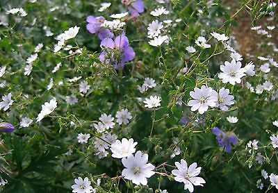 MOUNTAIN CRANESBILL * SUMMER SNOW * Geranium pyrenaicum * PURE WHITE * SEEDS