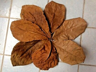Pet Supplies Obedient 40g Catappa Indian Almond Leaves Ketapang Shrimp Betta Fighting Fish Aquarium Pleasant In After-Taste Cleaning & Maintenance