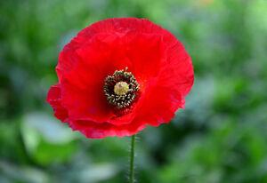 Poppy Seeds Papaver Flamenco 250 Seeds Self Seeding Poppy