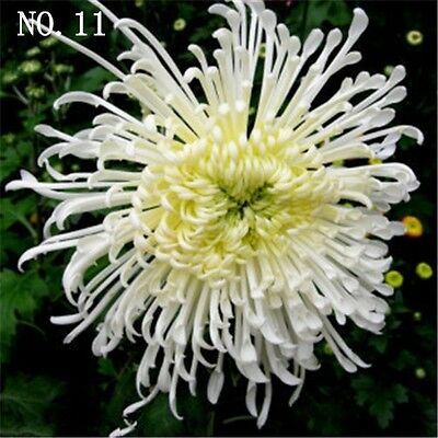 White Chrysanthemum seed  24 kinds balcony decoration 30 seeds NO.11