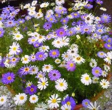 2000 Swan River Daisy Seeds Brachycome Iberdifolia Dwarf Mixed Flower Heirloom