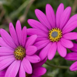 3-x-OSTEOSPERMUM-039-In-The-Pink-039-African-Daisy-Hardy-Perennial-Plant-ex-9cm-Pot