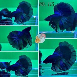 (HB-115) Dark Blue Monster Halfmoon-Live Halfmoon Betta Fish High Quality
