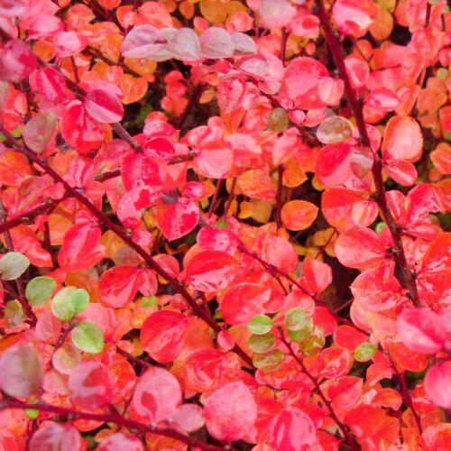 "RARO arbusto pianta in vaso 9 cm Cotoneaster Splendens /""SABRINA/"""
