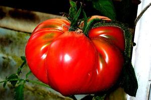 TOMATE-034-Marianna-s-Peace-034-rote-Riesen-Fruechte-1-kg-Fleischtomate-wenig-Kerne