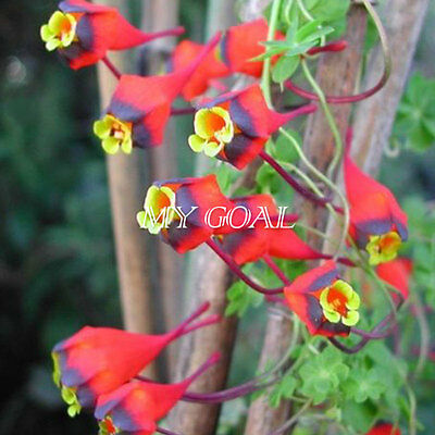 200Pcs Tropaeolum Tricolor Eye-catcher Rare Climbing Nasturtium Flower Plant New