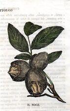 Stampa antica frutta NOCE botanica 1839 Old print fruits