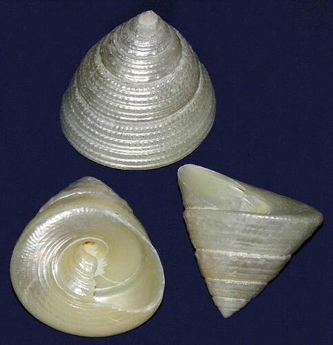 "Polished Truchus Maculatus Trocha Shells~2/""~Seashell Craft Select 2//4//6 Pcs."