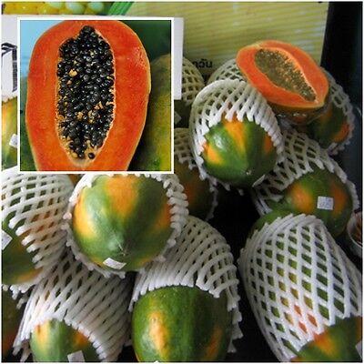 Red Lady PAPAYA Seed 100 500 Papaya Seeds SL Very sweet flesh 20 50