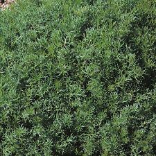Herb Seeds-Camomilla Prato - 5000 Semi