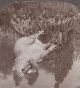 De-L-039-Est-Afrique-Stereoview-Hauling-un-Hippopotame-pour-L-Rive-Victoria-Nyanza
