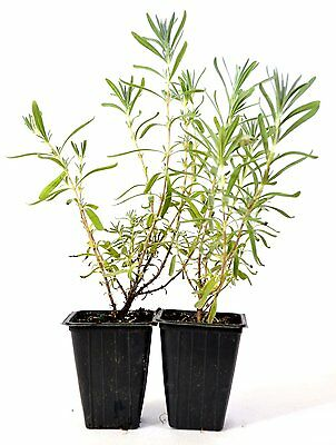Silver Frost English Lavender 2 Pack Aromatic Scent Mature Hardy Culinary