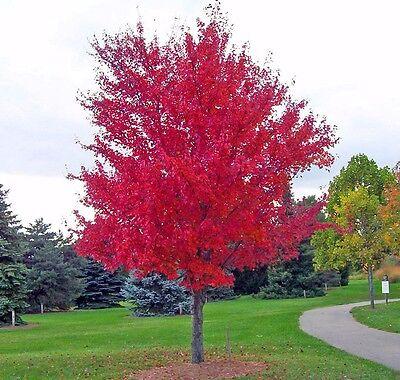 25 Siberian Maple Tree Acer Ginnala