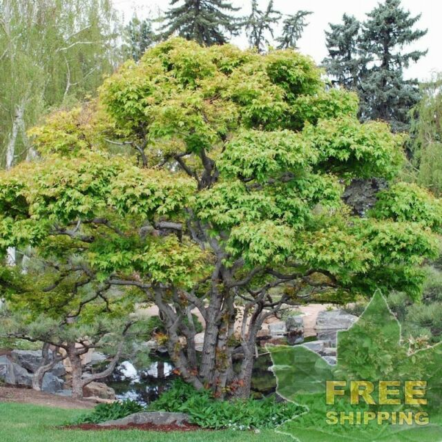 Acer Ginnala Flame Amur Maple 30 Seeds For Sale Online Ebay