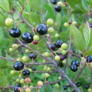 black huckleberry 30 seeds ebay