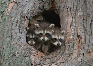 A1-Adorable-Raccoon-Family-Den-Poster-Art-Print-60-x-90cm-180gsm-Fun-Gift-14944