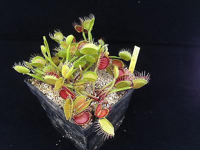 """Dionaea musicpula """"Crossed Teeth"""" Venusfliegenfalle Größe: M"""
