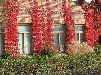 Wilder Wein  Parthenocissus quinquefolia /'Engelmannii/'  3 Pflanzen a.100cm !!!