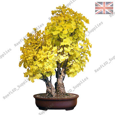 Rare Ginkgo Biloba Bonsai Maidenhair Tree 5 Viable Seeds Easy To Grow Uk Ebay