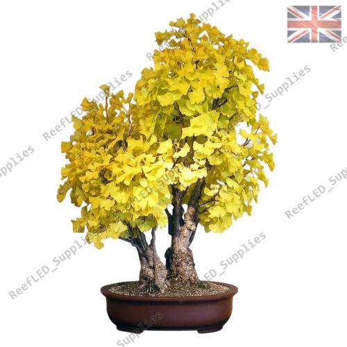 UK Einfach zu Wachsen Baum 5 Keimfähige Samen Seltene Ginkgo Biloba Bonsai