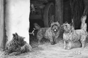 Mike-Sibley-THE-BARN-PATROL-Cairn-Terriers-Dogs-Art