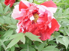 5 SISTER TREE PEONY SEEDS - (Paeonia suffruticosa)