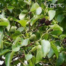 ITALIAN ALDER (Alnus Cordata) 50+EXTRA seeds (#529)