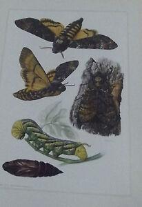 Objet-scolaire-planche-insecte-N-134-SPHINX-TETE-DE-MORT