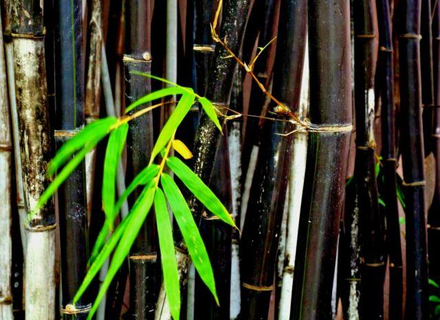 50+ Bamboo Seeds Phyllostachys Nigra Rare Garden Plant Back bamboo rare plant