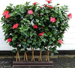 hibiskushecke 120cm hoch kunstblumen kunstpflanzen ebay. Black Bedroom Furniture Sets. Home Design Ideas