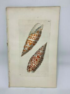 Papal-Volute-Shells-1783-RARE-SHAW-amp-NODDER-Hand-Colored-Copper-Engraving